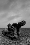 gillespies-beach-tree-trunk-b-w-img_9037-3